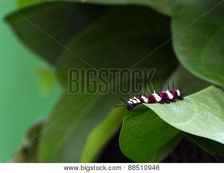 Large Tree Nymph Larva