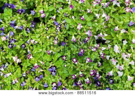 Flower Background Texture Beautiful  Violet Pink Trumpet Vine