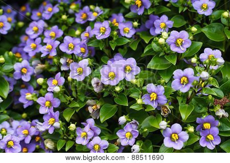 Flower Background Texture Beautiful Persian Violet
