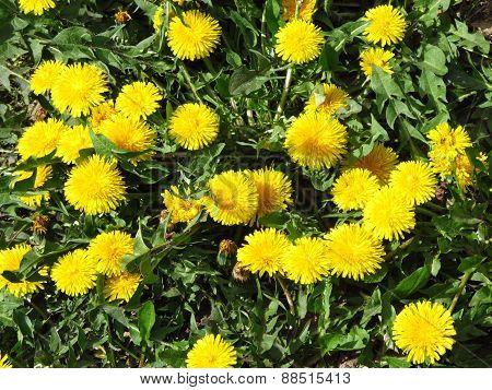 blooming dandelions
