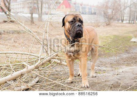 Adult Dog Bulmastiff