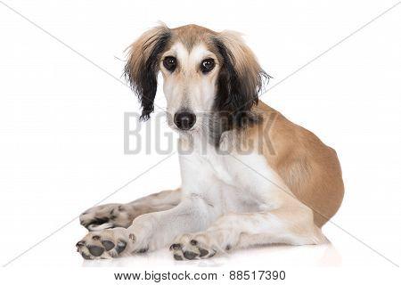 adorable saluki dog on white