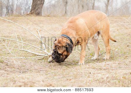 bullmastiff dog playing