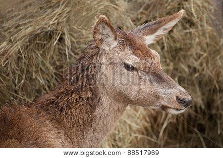 European red deer