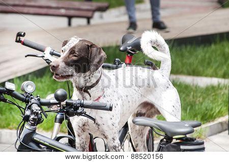Hunting dog among bicycles