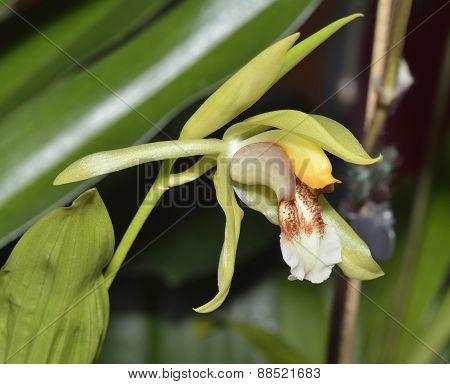 Rumphius' Coelogyne Orchid