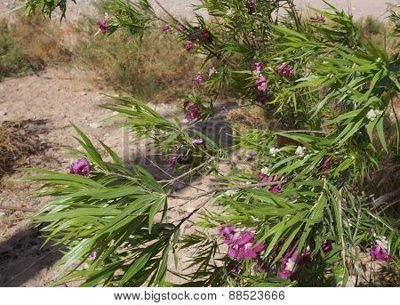 Desert willow, Chilopsis linearis