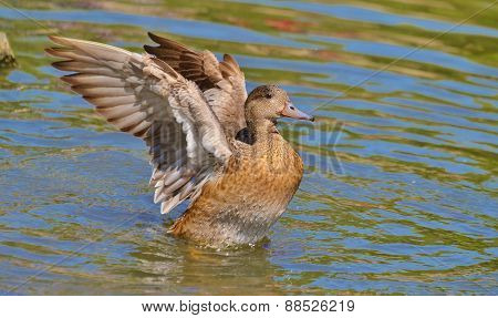 Duck wingspread on water