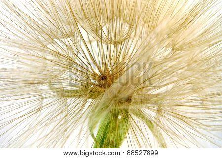 puff's flower