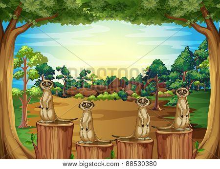 Meerkats on logs in forest