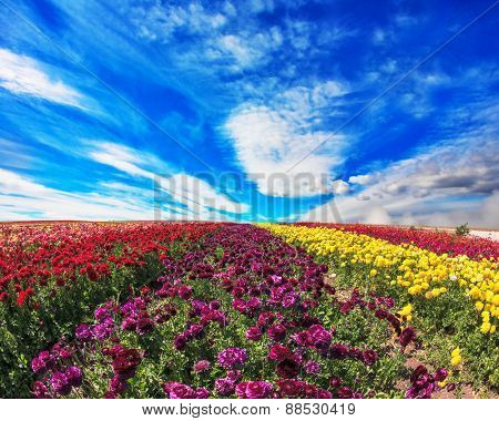 Large field of purple, yellow and red flowers. Spring on a farm on cultivation of buttercups garden