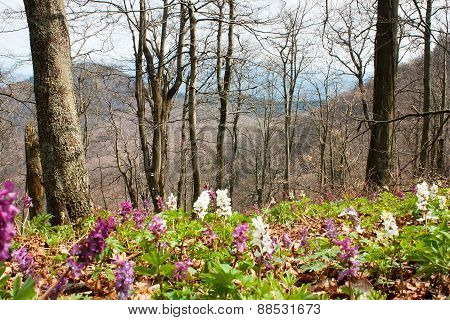 Springtime In Flowering Deciduous Beech Forest