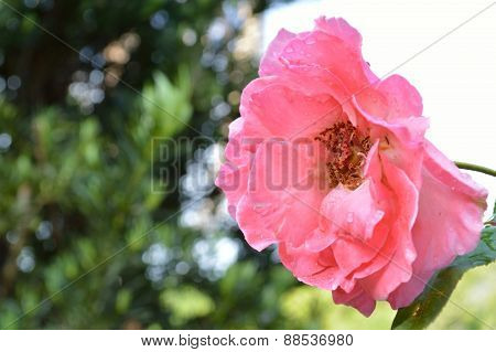 Old-fashioned Coral Pink Rose With Sky Behind