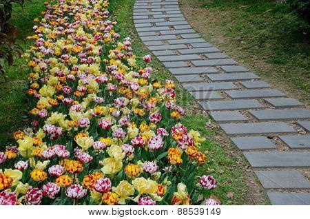 Tulip line paver path