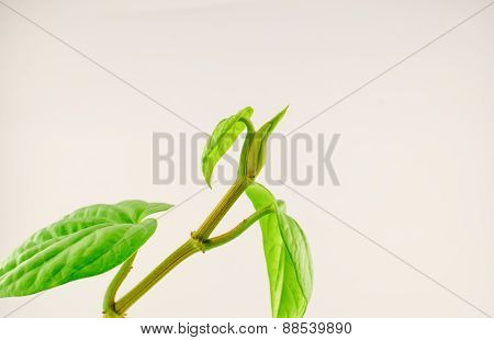 Green Betel Leaf