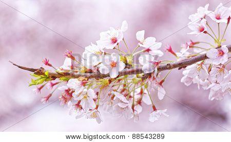 Sakura blossom flower close up for background