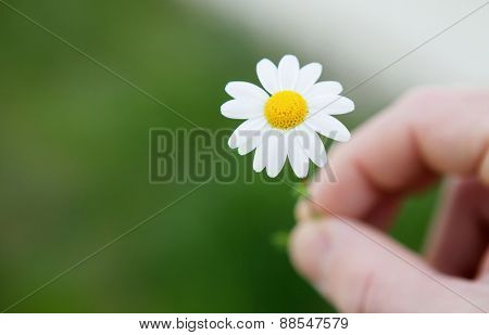 Men hands offering a beautiful daisy at camera