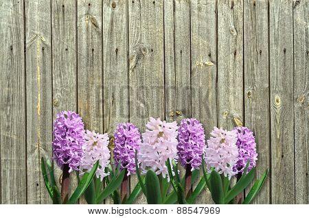 Pink And Lilac Hyacinth