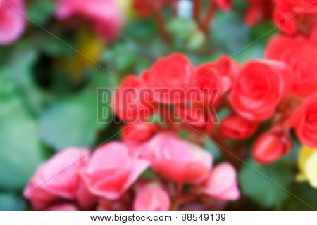 Blurry Defocused Image Of Pink, Red Begonia Flower For Background