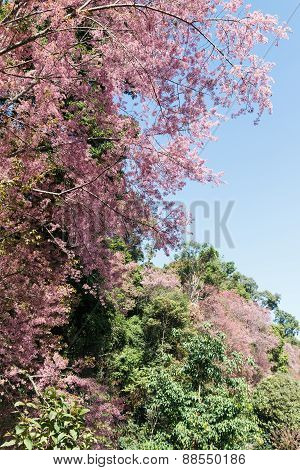 Blooming Pink Flower Of Wild Himalayan Cherry On The Hill