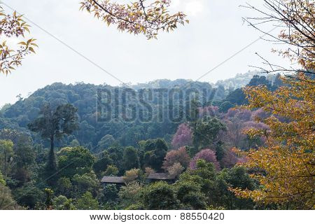 Blooming Pink Flower Of Wild Himalayan Cherry With Mountain Background