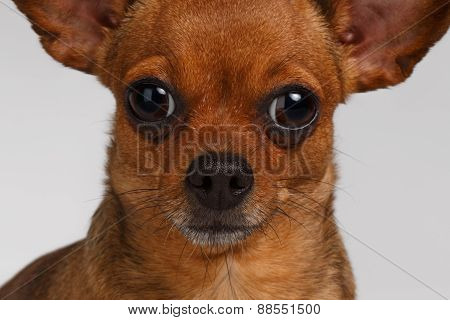 Closeup Sadly Brown Toy Terrier on White Background