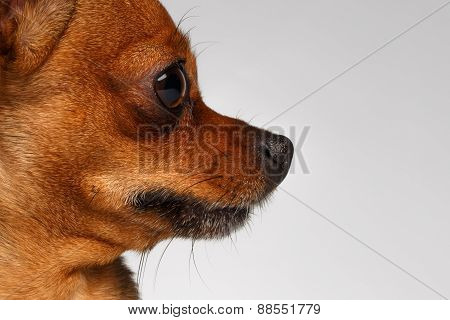 Closeup profile Brown Toy Terrier on White Background
