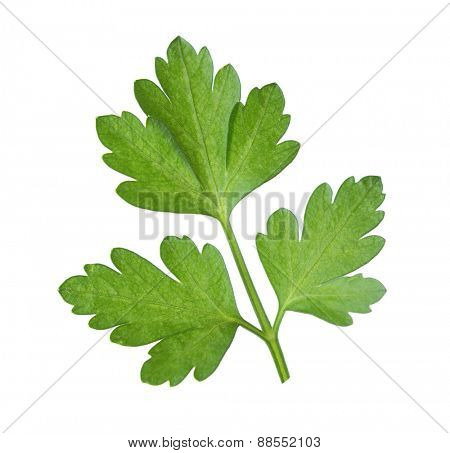 Close-up  leaf of  parsley isolated on a white background.