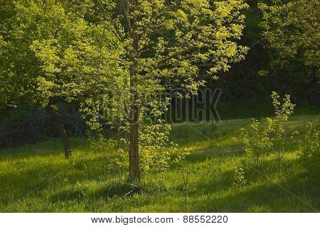 Green Tree in Spring
