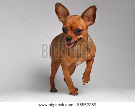 Smiling Brown Toy Terrier on White Background