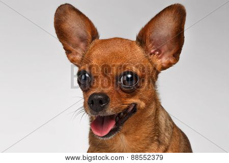 Closeup Smiling Brown Toy Terrier on White Background