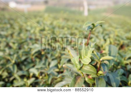 Blurry Defocused Image Of Oolong Tea Farm For Background