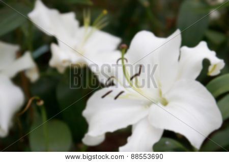 Blurry Defocused Image Of Blooming White Lilly In Flowerbed For Background