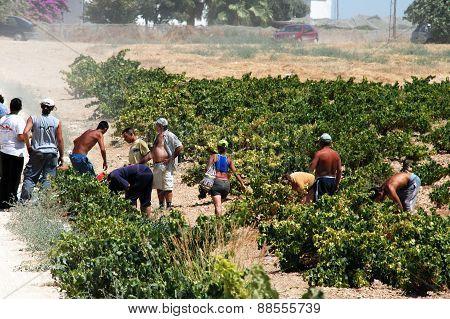 Grape pickers, Montilla.
