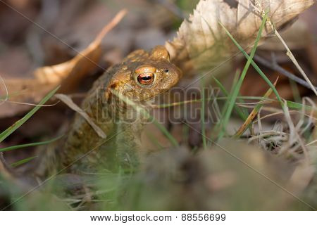 Toad in foliage
