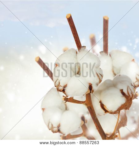 Cotton plant over white background