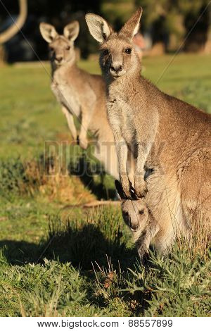 Kangaroo mother standing with Joey looking out of Pouch