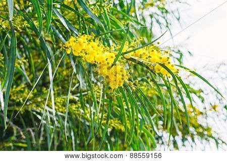 Blossoming Of Mimosa Tree (acacia) In Spring