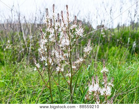 White Asphodel Flowers At Green Meadow In Spring