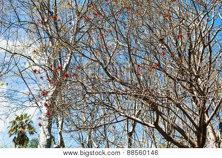 Bare Acacia Tree With Red Blossom In Spring Day