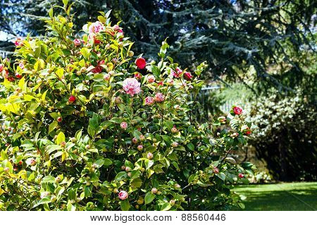 With Pink And White Blossom On Camellia Bush