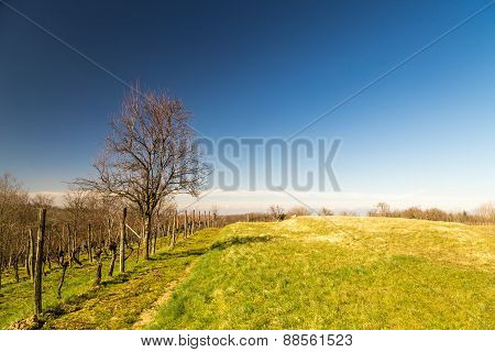Vineyard In Early Spring