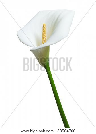 beautiful single calla flower isolated on the white background
