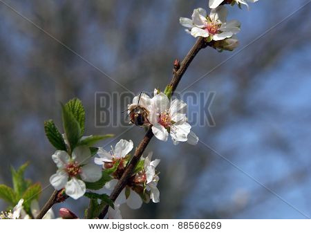 Apricot Blossom On A Background Of Blue Sky