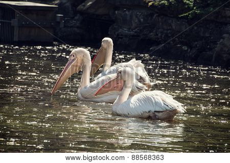 Group Of Great White Pelican On The Shimmering Pond