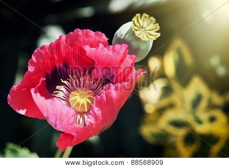 Corn Poppy Red Flower In Sun Rays