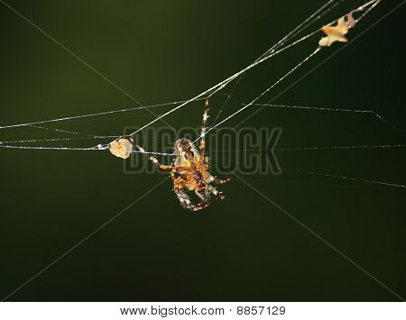 Big Spider (Araneus) in Net