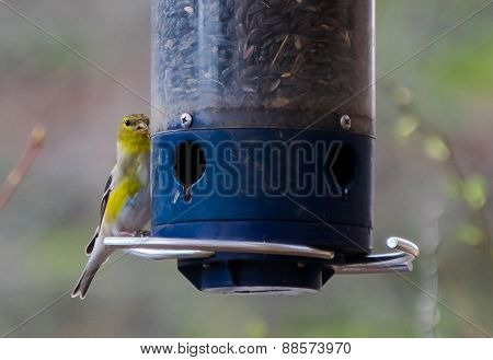 American Goldfinch Female (Spinus Tristis)