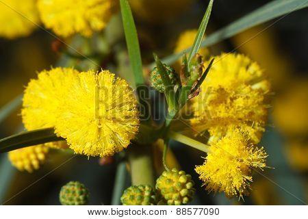 Yellow Mimosa Flowers Macro Outdoors