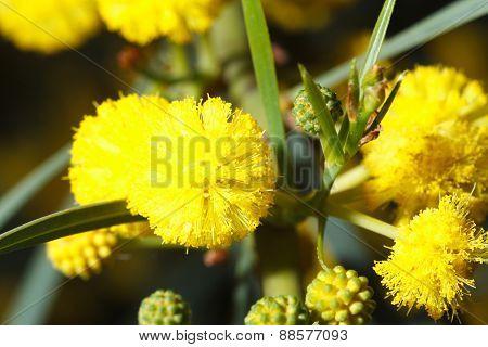 Beautiful Flowers Fluffy Yellow Mimosa Macro
